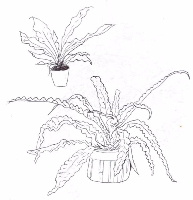 Birdsnest Ferns